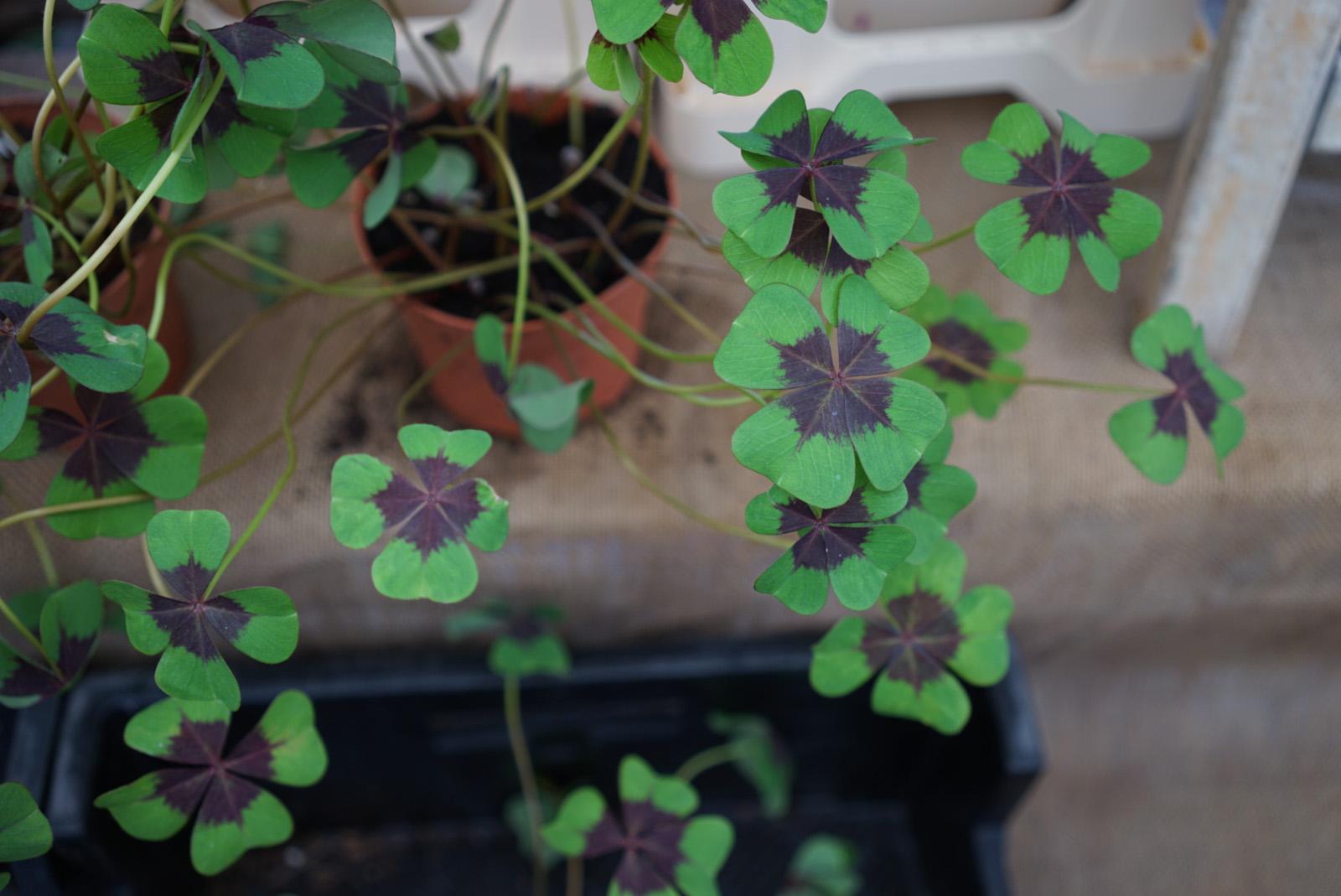 rootsandmind-green-cloverleaf